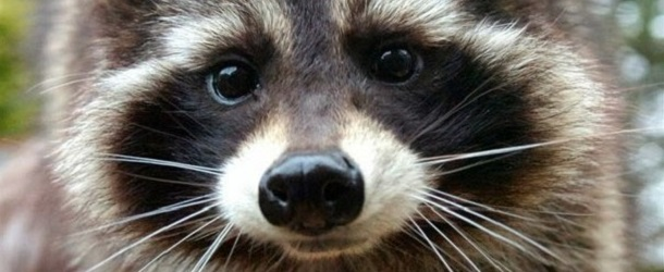 gardiens-de-la-galaxie-raton-laveur-raccoon-motion-capture