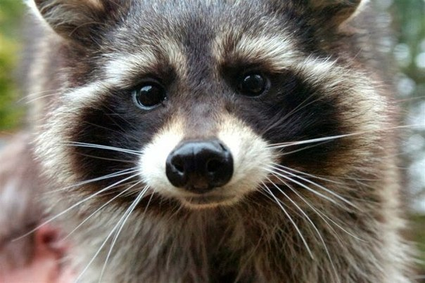 rocket-raccoon-oreo